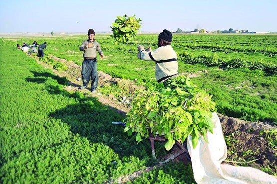 إرتفاع حجم إنتاج المحاصيل الزراعية في إيران نحو 10 ملايين طن