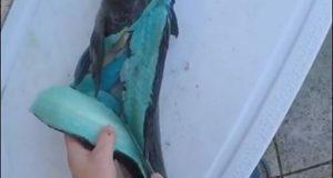 صياد يكتشف سمكة لحمها أزرق اللون