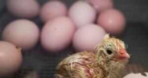 استنفار أوروبي للتحقيق في البيض الملوّث